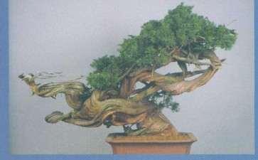 图解 木村正彦真柏盆景《登龙之舞》的制作过程