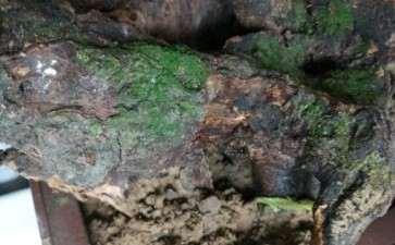 下山桩发芽后的朽木该怎么处理 图片