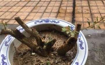 水杨梅下山桩生桩发芽了 30元买的