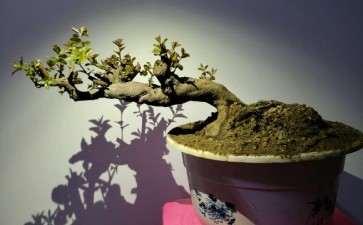 雀梅下山桩熟桩7天发芽了 图片