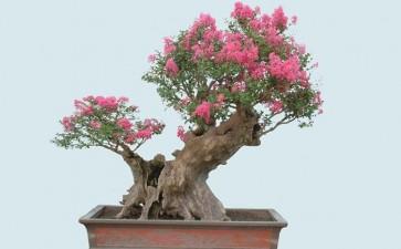 紫薇盆景怎么肥水管理和整形修枝