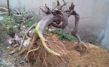朴树下山桩用河沙培 一直未来芽 图片