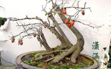 老鸦柿下山桩4个 现在就一个母桩发芽