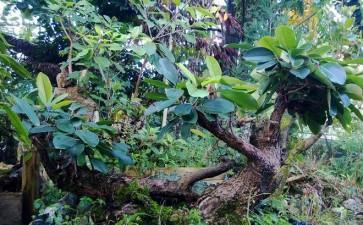 清香下山桩木生桩多久能发芽 图片