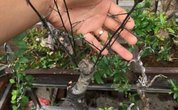 老鸦柿下山桩生桩发芽后 今年开春了