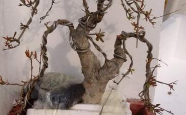 石榴下山桩生桩发芽了 今年能开花吗