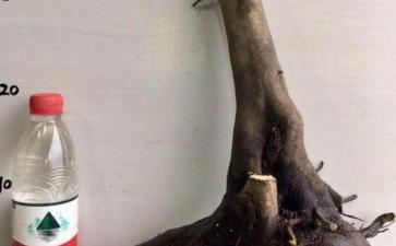 老鸦柿下山桩2个月都不发芽 死了吗