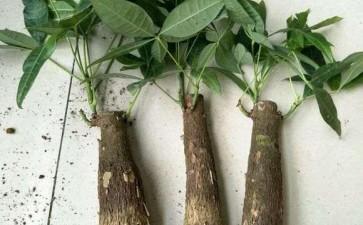 发财树下山桩发芽后怎么光照的方法