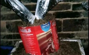 金弹子下山桩生桩有蚂蚁影响发芽吗