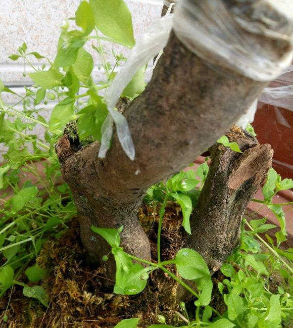 映山红下山桩 6个月套袋养护 终于发芽