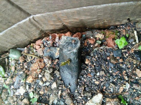 年前种的金弹子下山桩生根
