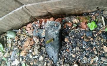 年前种的金弹子下山桩生根 老根发芽