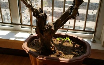 紫藤下山桩发芽的枝条都干枯了 图片