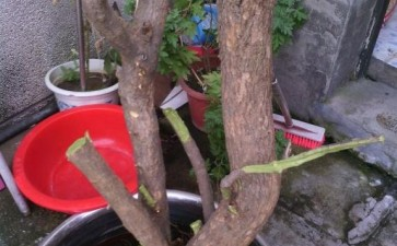 石榴下山桩 今年还会发芽长叶吗