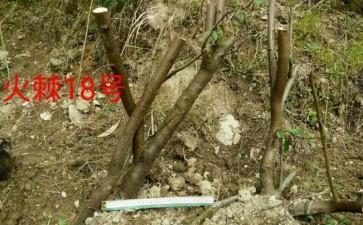 火棘下山桩深盆栽多久能发芽 图片