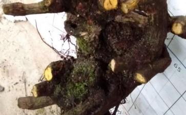 南天竹下山桩要多久才能发芽 20天