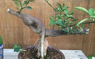 金豆下山桩已发芽10厘米 是拔起来吗