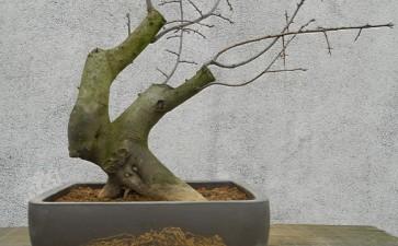 1棵发芽到位的老鸦柿下山桩 图片