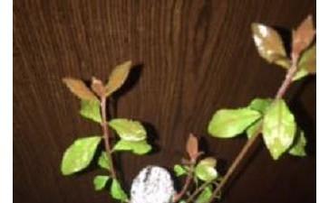 金弹子下山桩发芽了 发现有虫子 图片