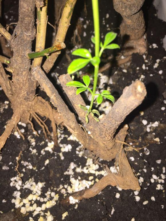 为什么迎春下山桩生桩发芽又枯萎