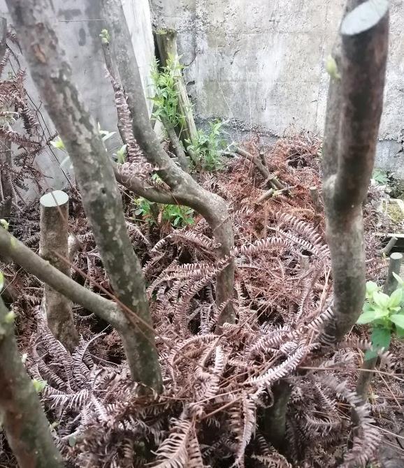 映山红下山桩发芽了 叶子很大