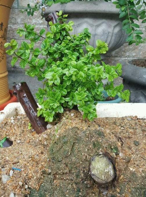 雀梅下山桩发芽后多久可以上盆