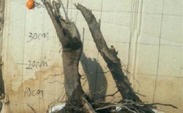 老鸦柿下山桩生桩什么时候可以发芽