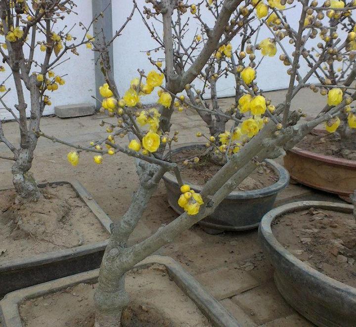年前栽的腊梅桩3月没发芽正常吗