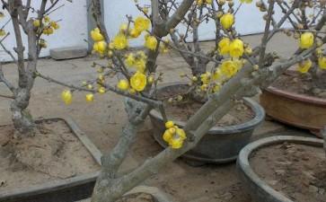 年前的腊梅下山桩 3月没发芽正常吗