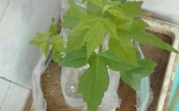 买的三角枫下山桩生桩发芽 图片
