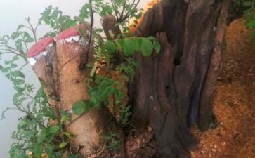 清香木下山桩开始出芽 罩袋子养护