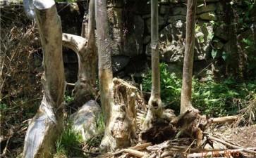 赤楠下山桩1个多月没发芽正常吗