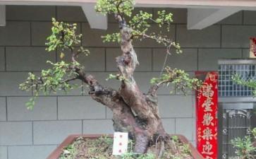 榆树盆景换盆后可以直接浇水吗