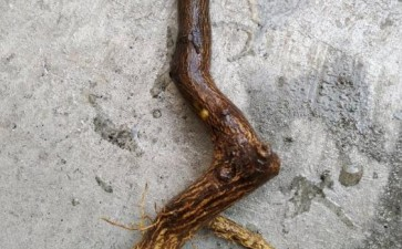 金豆下山桩用纯沙养了差不多2个月