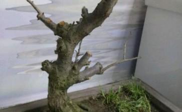 梅花下山桩换盆之后怎么不发芽
