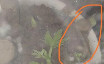 一根无花果下山桩上面发了2个芽