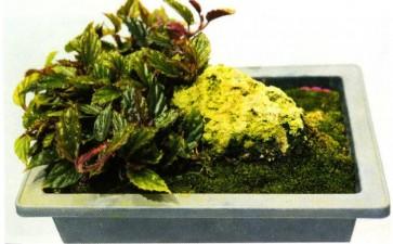 国产秋海棠属植物怎么保护的方法