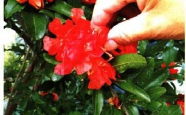 夏季庭院石榴盆景怎么人工辅助授粉