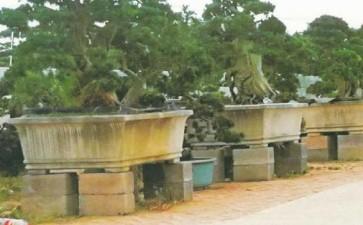 马荣进的北海罗汉松盆景共种了多少亩