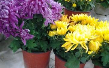 基于表型的盆栽菊遗传多样性分析
