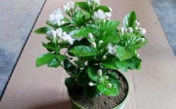 茉莉花盆栽怎么栽培管理的5个技术