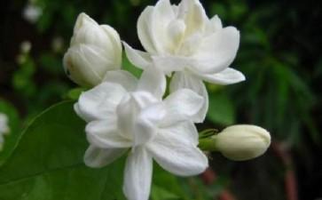 有机废弃物基质对盆栽茉莉生长的影响