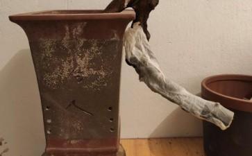 金豆下山桩生桩可以缠膜高培吗 图片