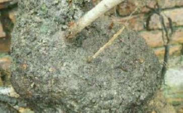 这小叶鼠李下山桩的造型可以吗 图片