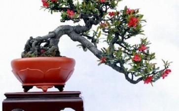 木瓜海棠盆景怎么浇水施肥的3个方法
