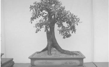 老鸦柿盆景怎么播种繁殖和株枝条扦插