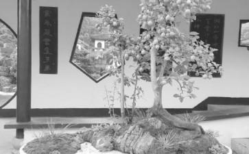 老鸦柿盆景采挖老桩和上盆管理的方法