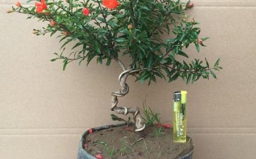 果树盆景怎么授粉疏果的2个方法