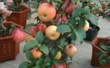 春季苹果盆景怎么套袋的方法