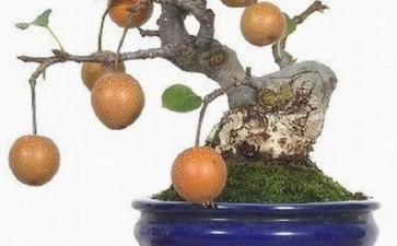 夏季果树盆景怎么浇水施肥的2个方法